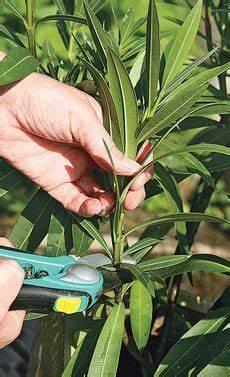 oleander vermehren garten pflanzen oleander vermehren