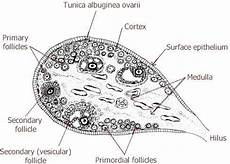 Reproduction Ovaries