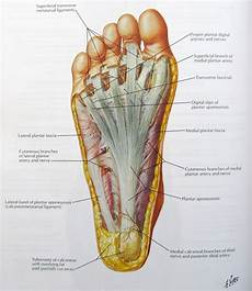 Anatomical Foot Diagram by Notes On Anatomy And Physiology Using Imagery To Relax