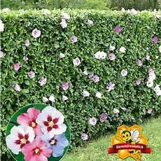 hibiskus richtig schneiden garten hibiskus hecke