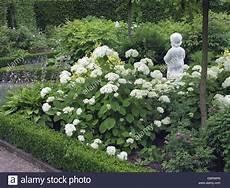 hortensia hydrangea arborescens sauvages grandiflora