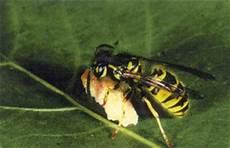 wespen im mauerwerk regionale feuerwehr wald rehetobel wespen