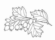 Coloring Page  Hawthorn