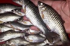 Ikan Wader Dan Uceng Bertahan Di Tengah Gelombang Seni