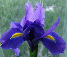iris fiore immagini iris flowers pictures of flowers at flowerinfo org