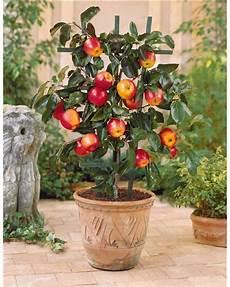 arbre fruitier intérieur mini pommier pomme gala 224 cultiver jardin pot