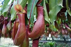 fleischfressende pflanze kanne tropical pitcher plant stock photo 169 tang90246 63982645