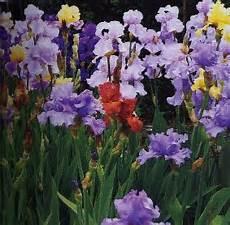 iris fiore coltivazione iris sguardo nel verde torino