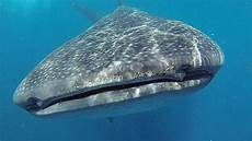 Hiu Paus Whale Shark Ikan Terbesar Di Dunia Tapi Cuma