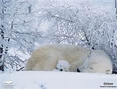 polar backgrounds polar wallpaper desktop animal