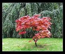 Erable Rouge Du Japon De Michel Lefouineur Jardin L 233 Rable Du Japon