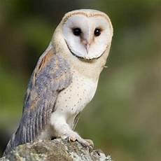 Wow 11 Gambar Burung Hantu Peliharaan Richa Gambar