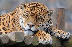inspiring wildlife preservation in costa rica the jaguar