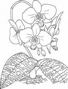 ausmalbild phalaenopsis schilleriana oder nachtfalter