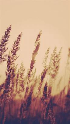 wallpaper iphone aesthetic nature nature aesthetic reed plant field blur iphone 6 wallpaper
