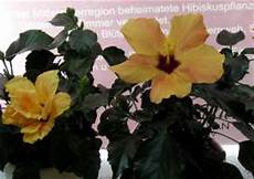 hibiskus hybriden tropischer hibiscus rosa sinensis