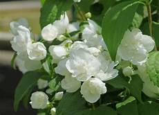 arbuste à fleurs blanches odorantes mock orange planting care and pruning tips