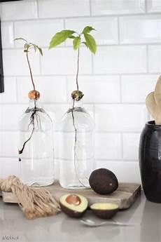 Die Besten 25 Avocado Z 252 Chten Ideen Auf