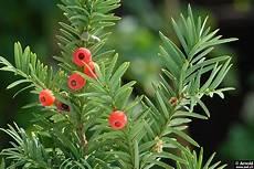 Eibe Taxus Baccata - eibe taxus baccata awl ch