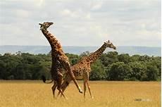 die giraffe matira magazin archiv giraffes mating giraffen paarung