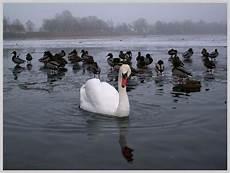 vom hässlichen entlein zum schönen schwan das quot h 228 ssliche quot entlein foto bild tiere zoo wildpark