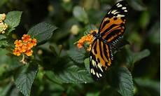 papillon en allemand en 30 ans les populations d insectes volants ont baiss 233