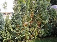 hecke wird braun was tun lebensbaum orientalischer lebensbaum smaragd lubera de