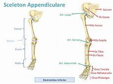 Welcome To My Anatomi Ekstremitas Bawah