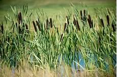 Pflanzen Am Teich Rohrkolben Im Teich 187 Vor Und Nachteile