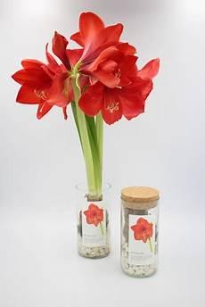 In A Bag Amaryllis Pflanze Im Glas Avocadostore
