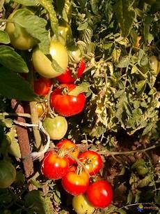 photo pied de tomates