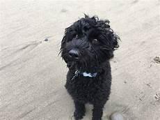 black labradoodle haircuts medium black labradoodle labradoodle black labradoodle labradoodle haircut
