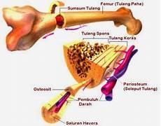 anatomi tulang manusia tulang rawan dan tulang keras