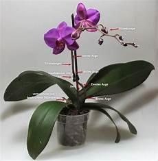 was ist was an einer phalaenopsis orchidee zimmerpflanze