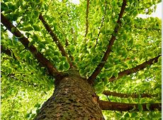 Ginkgo Biloba Tree: Care and Growing Guide