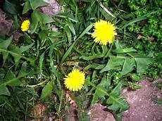 plante pour le foie le grand changement d 233 toxification du foie par les plantes