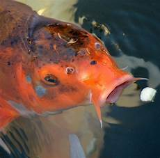 what do pond fish eat supplemental foods