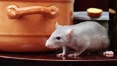 ratten fangen tipps ratten in haus und garten vorbeugen tipps