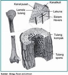 seputar kandungan struktur dan fungsi tulang keras pada