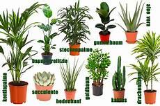 zimmerpflanzen groß pflegeleicht pflegeleichte und stylische zimmerpflanzen f 252 r jedermann