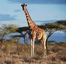 die giraffe biologie giraffen sind nicht nur eine sondern vier