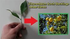 zitronenbaum durch stecklinge vermehren selber ziehen