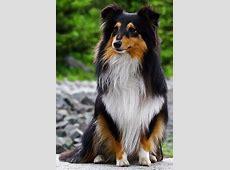 Shetland Sheepdog History, Personality, Appearance, Health