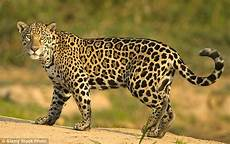 Pic Of Jaguar by The Meaning And Symbolism Of The Word Jaguar