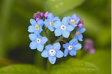 feld vergissmeinnicht stockfoto bild flora forget