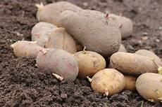 kartoffelsorten die besten 34 sorten und namen mehlig