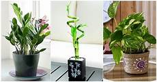 Top Lucky Plants For Home And Offices Top 10 Plants