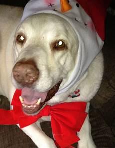 merry christmas labrador retriever critter labrador