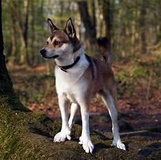 comment choisir un chien qui ressemble 224 un loup