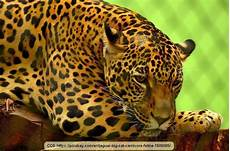 panther jaguar leopard what is the difference between leopard panther jaguar and quora